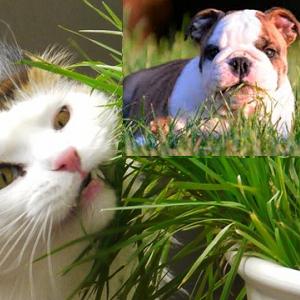Seu cão ou gato está comendo grama?