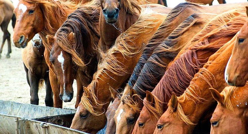 As Micotoxinas e os Problemas Reprodutivos em Cavalos
