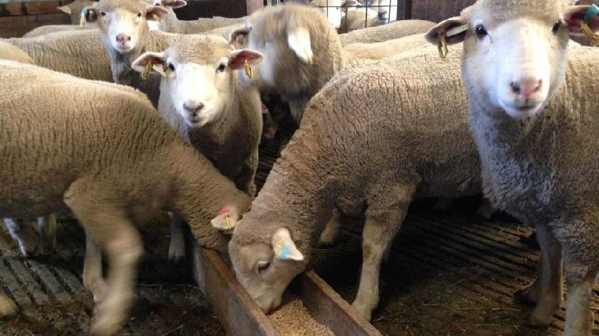 Benefícios da utilização de levedura viva na alimentação de ovinos