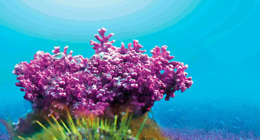 O que é Lithothamnium calcareum? Onde é encontrada?