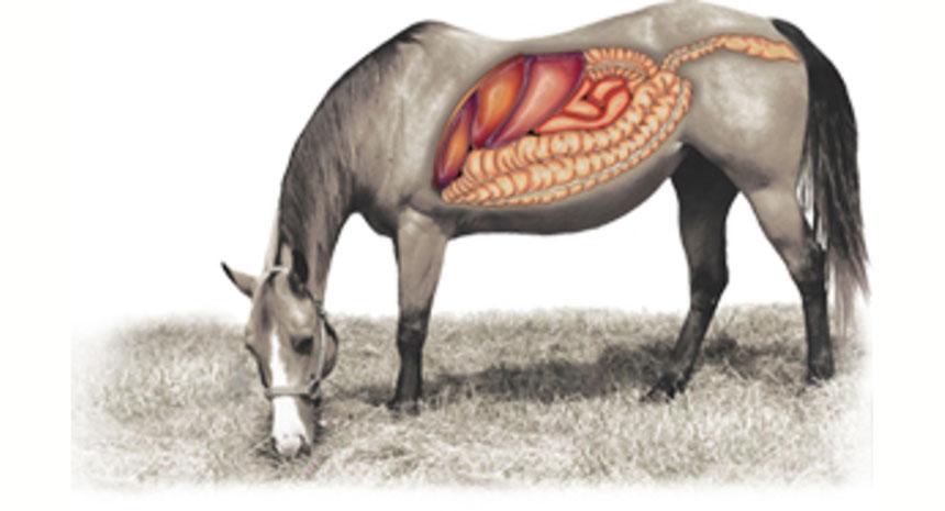 Porque usar  probiótico para cavalo de levedura na forma contínua em meu cavalo?