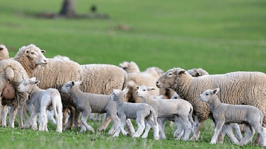 Principais Parasitas e a Herdabilidade da Resistensia a Nematodeos Gastrintestinais em Ovinos de Corte