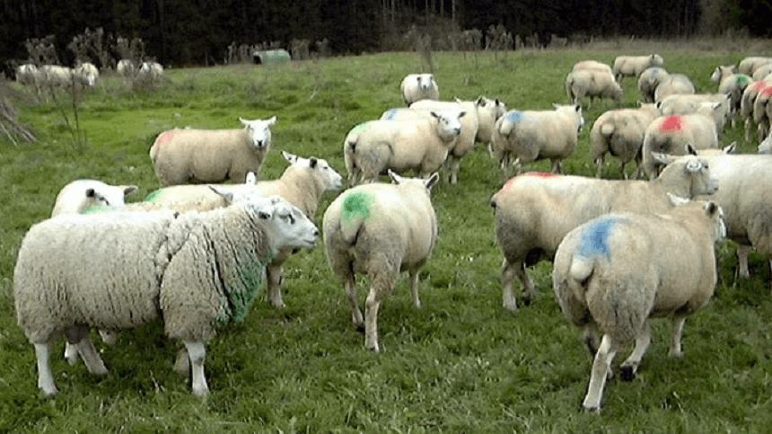 Receita de tinta marcadora para ovinos e caprinos