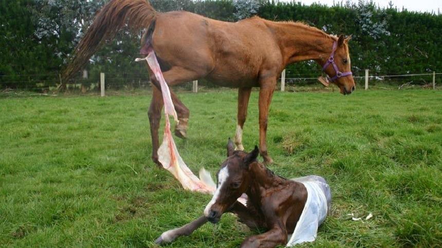 Retenção de placenta em éguas