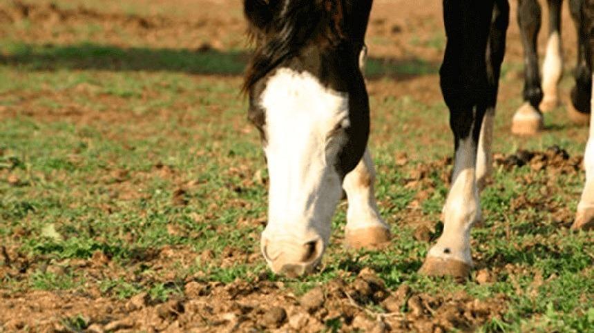 Saiba como acabar com a ingestão de fezes do seu cavalo