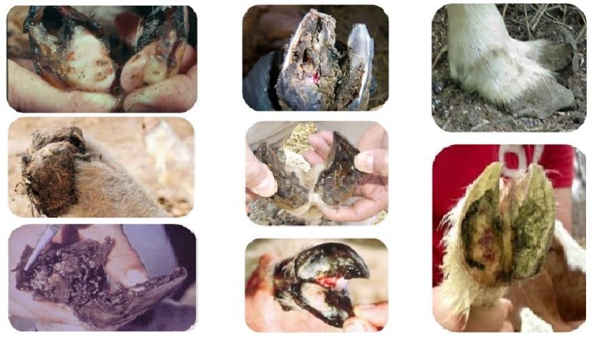Saiba mais sobre a manqueira ou pododermatite dos ovinos